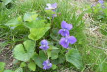 Violet-plant-Growing-wild