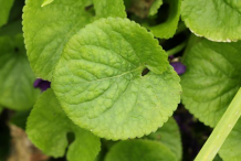 Leaves-of-Violet-plant