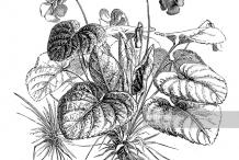 Sketch-of-Violet-plant