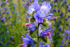 Flowers-of-Vipers-Bugloss