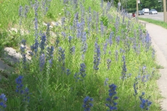 Vipers-Bugloss-plant-Growing-wild