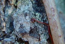 Bark-of-Virginia-creeper-plant