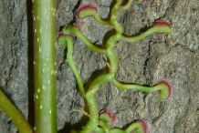 Climbing-roots-with-adhesive-pads