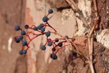 Dried-Berries-of-Virginia-creeper
