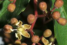 Flowering-buds-of-Virginia-creepers