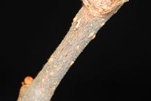 Twig-of-Virginia-Creepers
