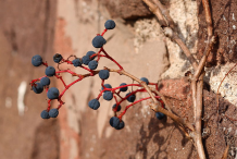 Dried-Berries-of-Virginia-creeper