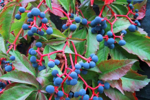 Fresh-fruits-of-Virginia-creeper