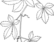 Sketch-of-Virginia-creeper-plant