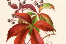 Virginia-Creeper-plant-Illustration