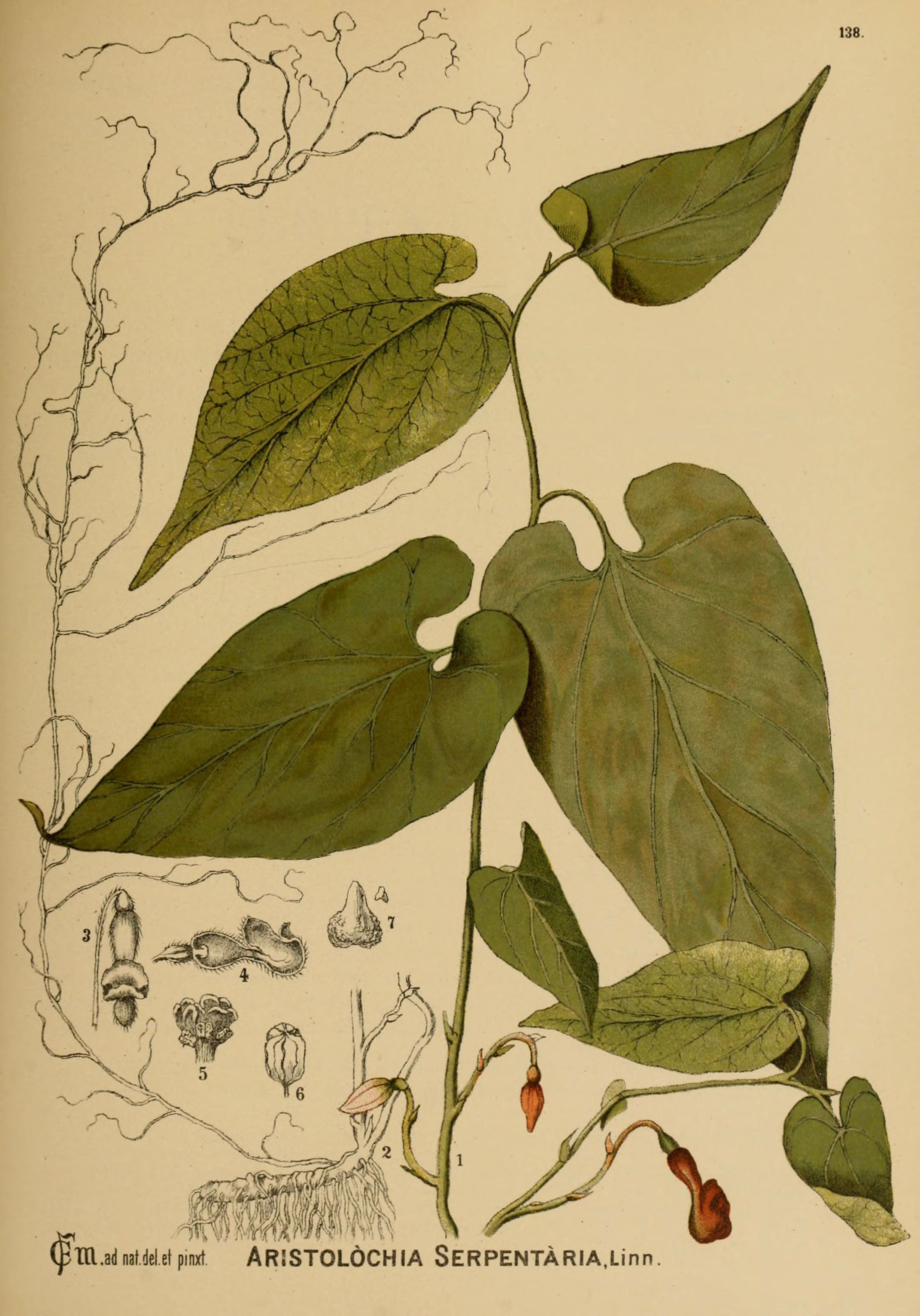 Plant-illustration-of-Virginia-Snakeroot
