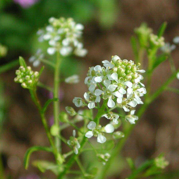 Flowers-of-Virginian-peppercress