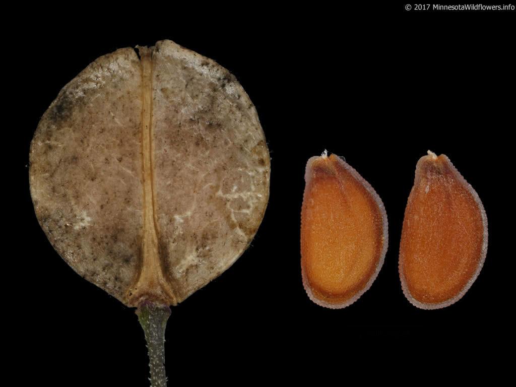 Mature-fruit-and-seeds-of-Virginian-peppercress