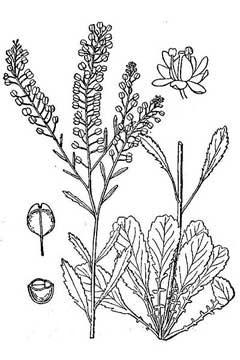 Sketch-of-Virginian-peppercress
