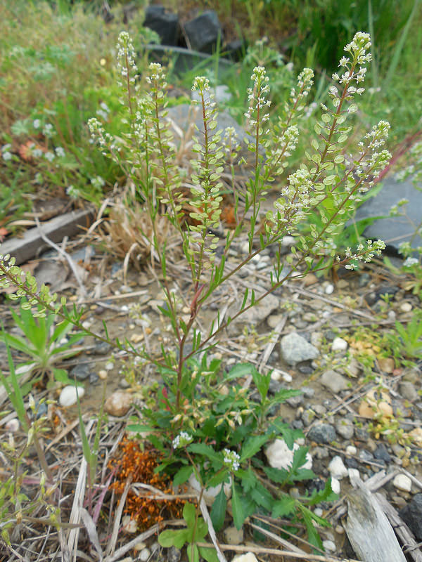 Virginian-peppercress-Plant-growing-wild
