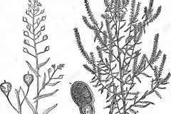 Plant-Illustration-of-Virginian-peppercress