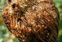 Dried-Flower-of-Visnaga