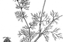 Sketch-of-Visnaga-plant