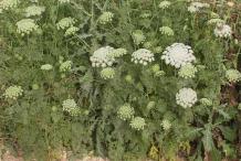 Visnaga-plant