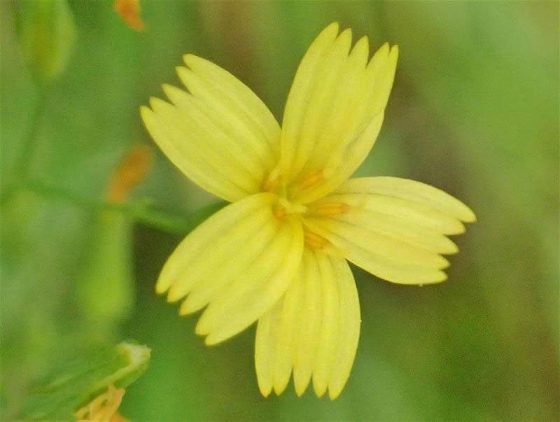 Closer-view-of-flower-of-Wall-Lettuce