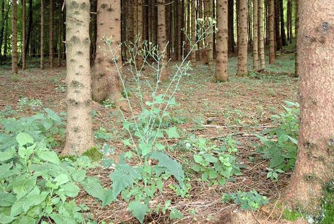 Wall-Lettuce-Plant-growing-wild