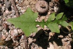 Leaves-of-Wall-Lettuce