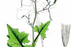 Plant-illustration-of-Wall-Lettuce
