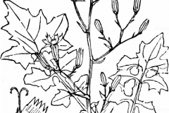 Sketch-of-Wall-Lettuce