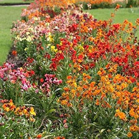 Different-varieties-of-Wallflower