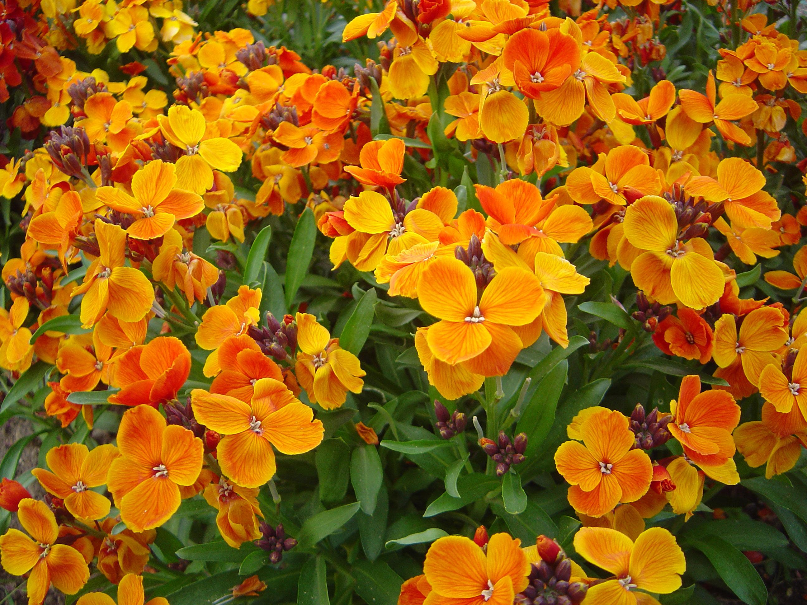 Flowers-of-Wallflower