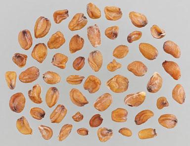 Seeds-of-Wallflower