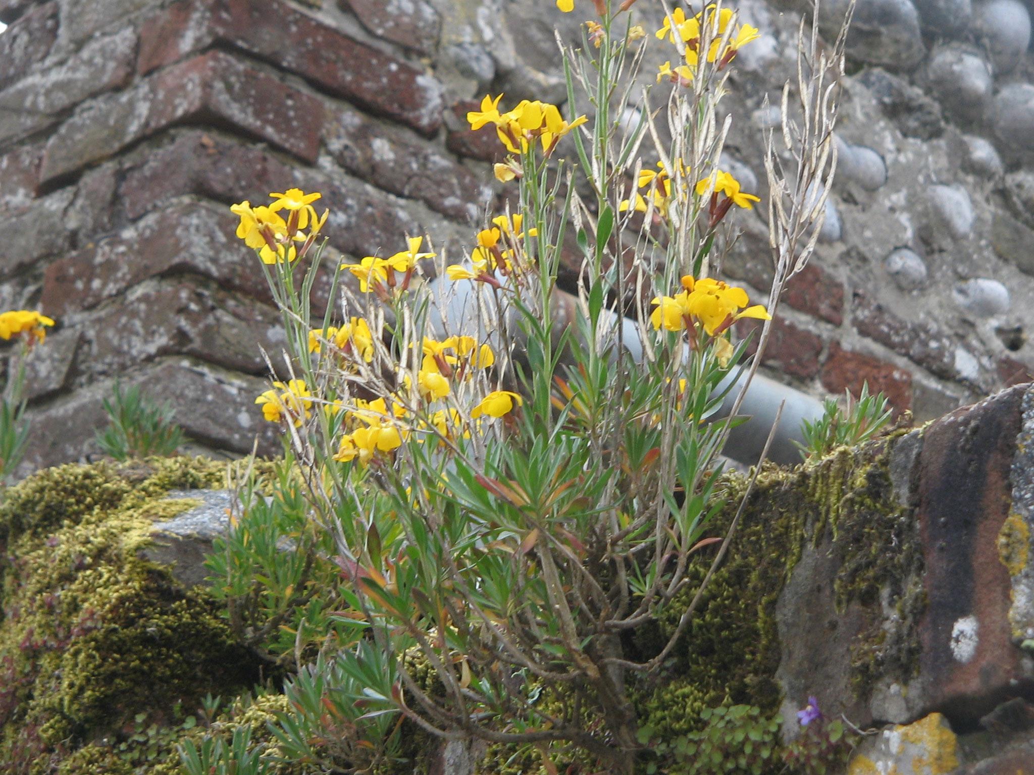 Wallflower-plant-growing-wild
