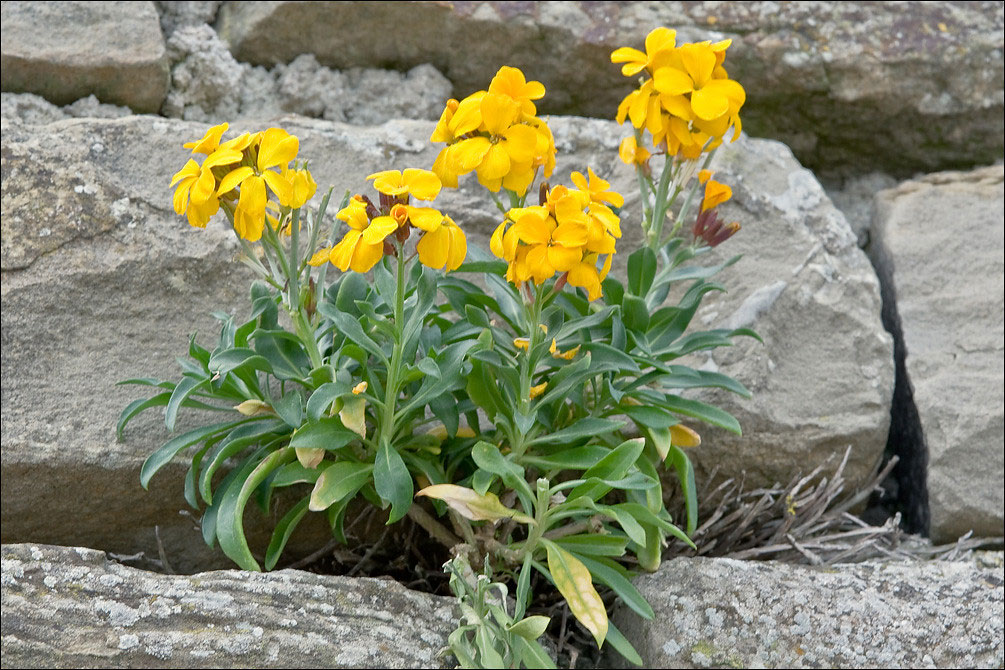 Wallflower-plant