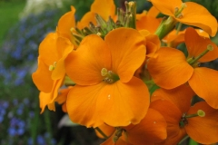 Closer-view-of-flowers-of-Wallflower