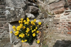 Wallflower-plant-growing-on-wall