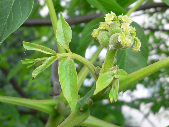 Walnut-bud