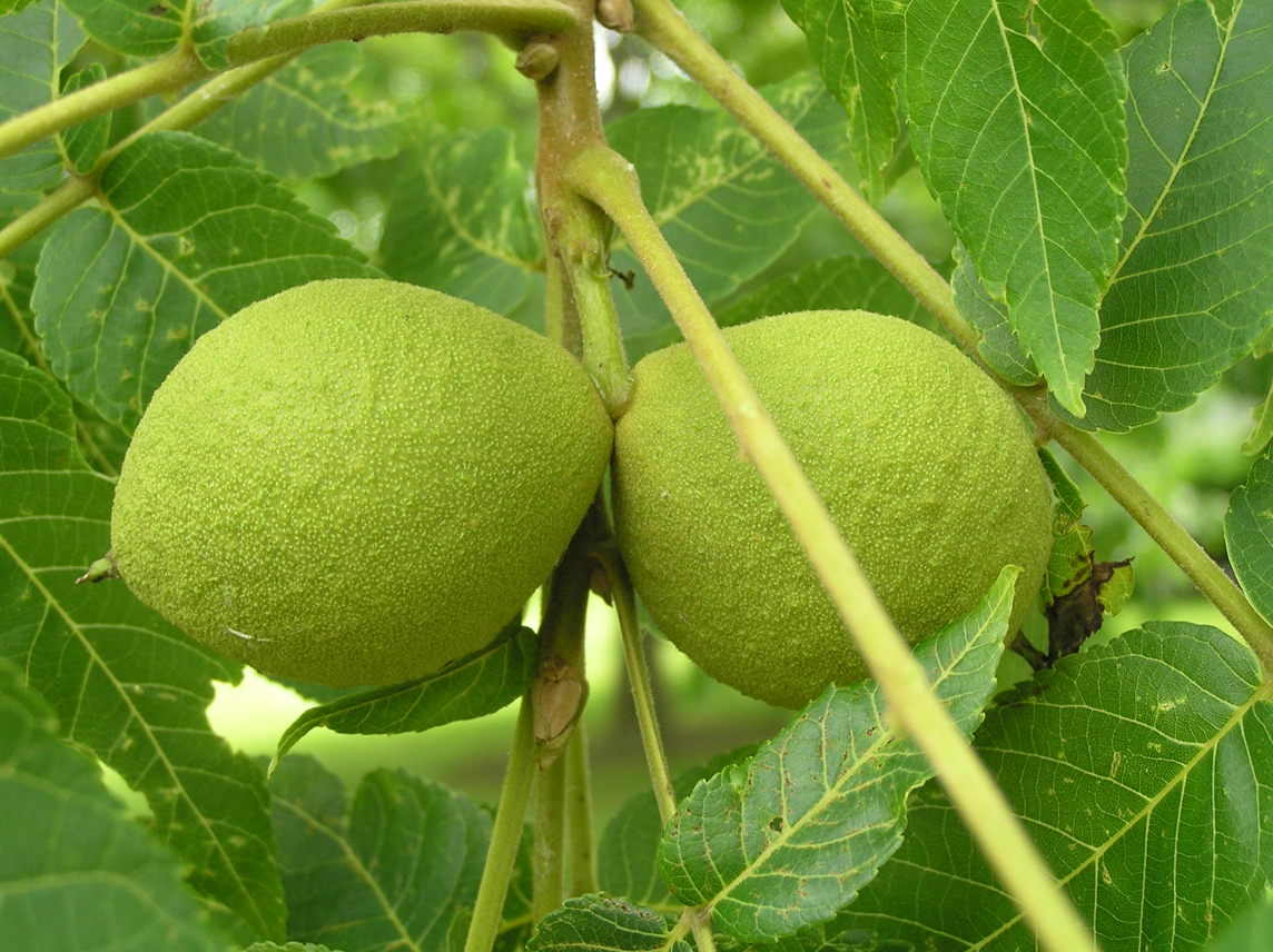 Walnut-fruit