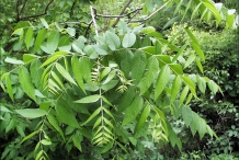 Walnut-leaves
