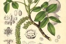 Walnut-plant-illustration