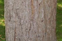 Walnut-tree-bark