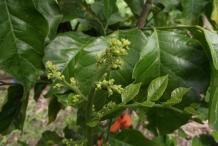 Wampee-flower-buds