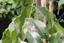 Wampee-leaves