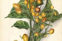 Wampee-plant-illustration