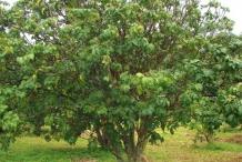 Wampee-tree