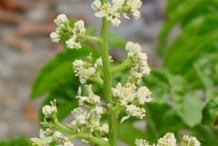 Wampee-flowers