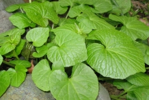 Leaves-of-Wasabi