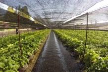 Wasabi-farm