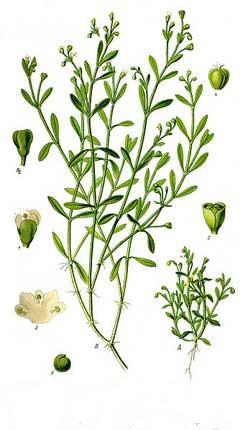 Plant-Illustration-of-Water-blinks