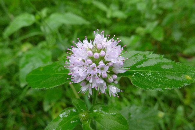 Flower-of-Water-Mint