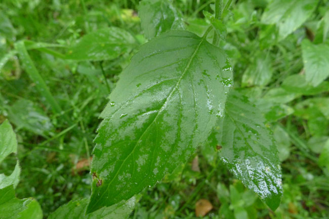 Leaves-of-Water-Mint